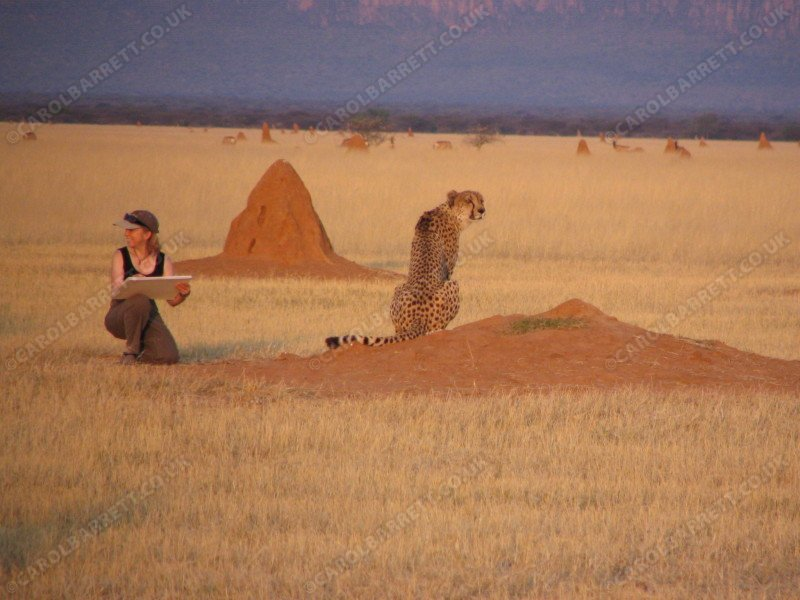 Artist at The Cheetah Conservation Fund, Namibia