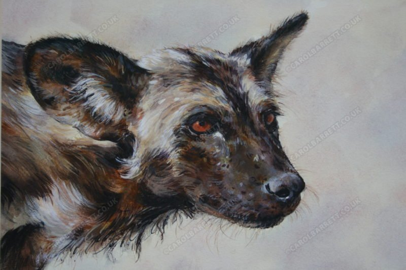 """<span style=""""float:left"""">Tribute to Newky</span><span style=""""float:right""""><a href=""""http://www.carolbarrett.co.uk/paintings/tribute-to-newky/?from=/wild-dog-hyena-for-sale/"""">More info »</a></span>"""