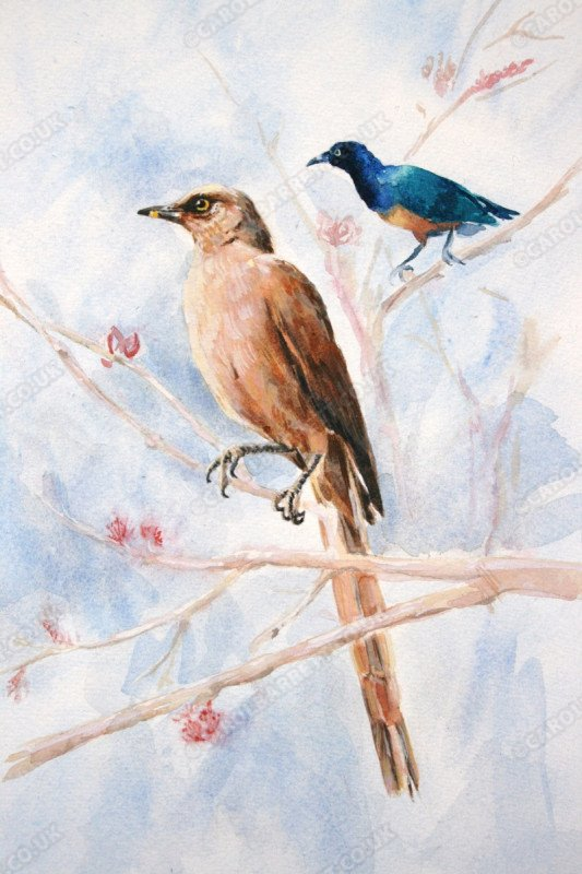 """<span style=""""float:left"""">Brown Bulbul & Superb Starling</span><span style=""""float:right""""><a href=""""http://www.carolbarrett.co.uk/paintings/brown-bulbul-superb-starling/?from=/birds-sold/"""">More info »</a></span>"""