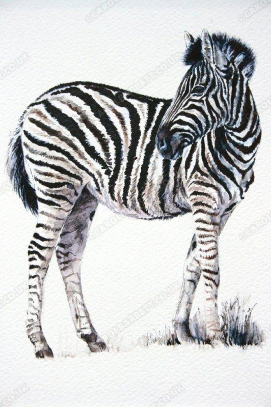 """<span style=""""float:left"""">Burchell's Zebra</span><span style=""""float:right""""><a href=""""http://www.carolbarrett.co.uk/paintings/burchells-zebra/?from=/african-wildlife-sold/"""">More info »</a></span>"""