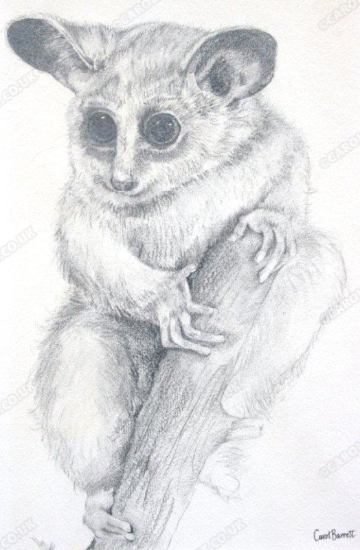 "<span style=""float:left"">Bushbaby</span> <span style=""float:right""><a href=""http://www.carolbarrett.co.uk/paintings/bushbaby/?from=/primates-sold/"">More info »</a></span>"