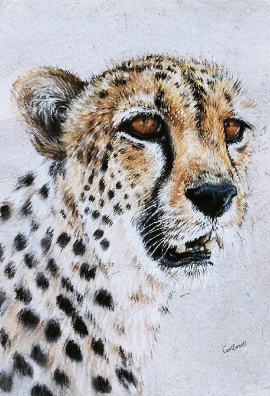 """<span style=""""float:left"""">Chewbaaka</span><span style=""""float:right""""><a href=""""http://www.carolbarrett.co.uk/paintings/chewbaaka/?from=/cheetah-sold/"""">More info »</a></span>"""