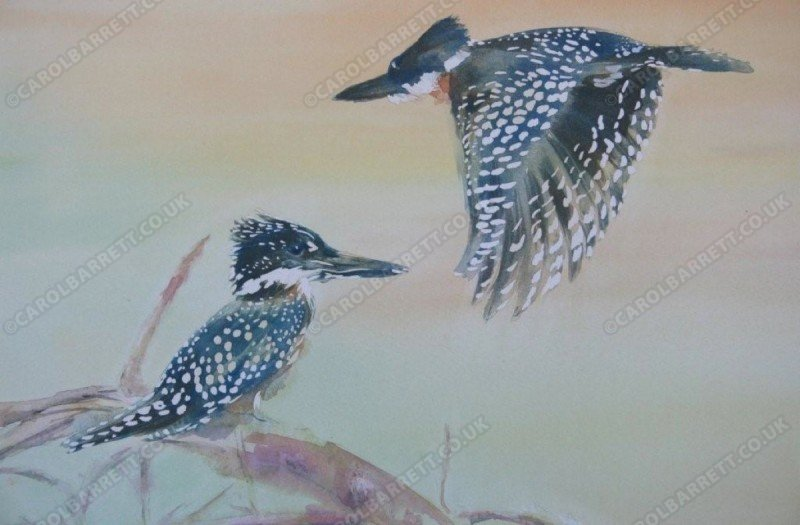 """<span style=""""float:left"""">Giant Kingfisher</span><span style=""""float:right""""><a href=""""http://www.carolbarrett.co.uk/paintings/giant-kingfisher/?from=/birds-sold/"""">More info »</a></span>"""