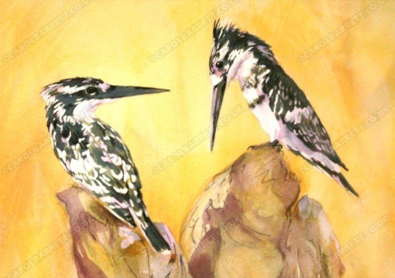 """<span style=""""float:left"""">Pied Kingfisher pair</span><span style=""""float:right""""><a href=""""http://www.carolbarrett.co.uk/paintings/pied-kingfisher-pair/?from=/birds-sold/"""">More info »</a></span>"""
