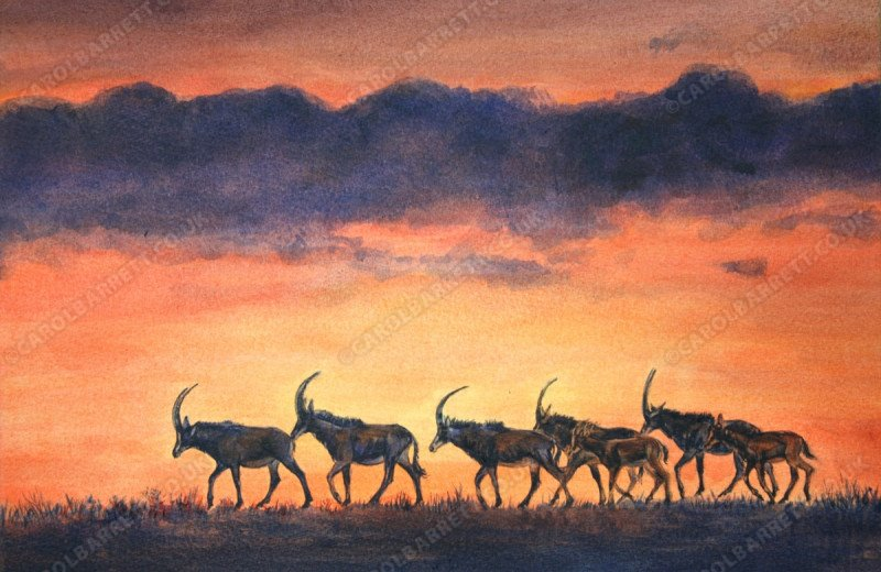 "<span style=""float:left"">Sable Silhouettes</span> <span style=""float:right""><a href=""http://www.carolbarrett.co.uk/paintings/sable-silhouettes/?from=/african-wildlife-for-sale/"">More info »</a></span>"