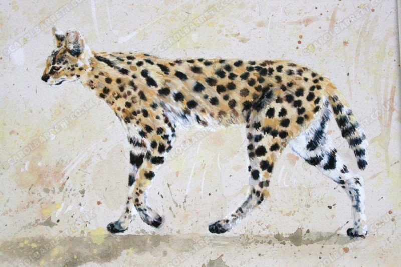 """<span style=""""float:left"""">Serval</span><span style=""""float:right""""><a href=""""http://www.carolbarrett.co.uk/paintings/serval/?from=/big-cats-for-sale/"""">More info »</a></span>"""