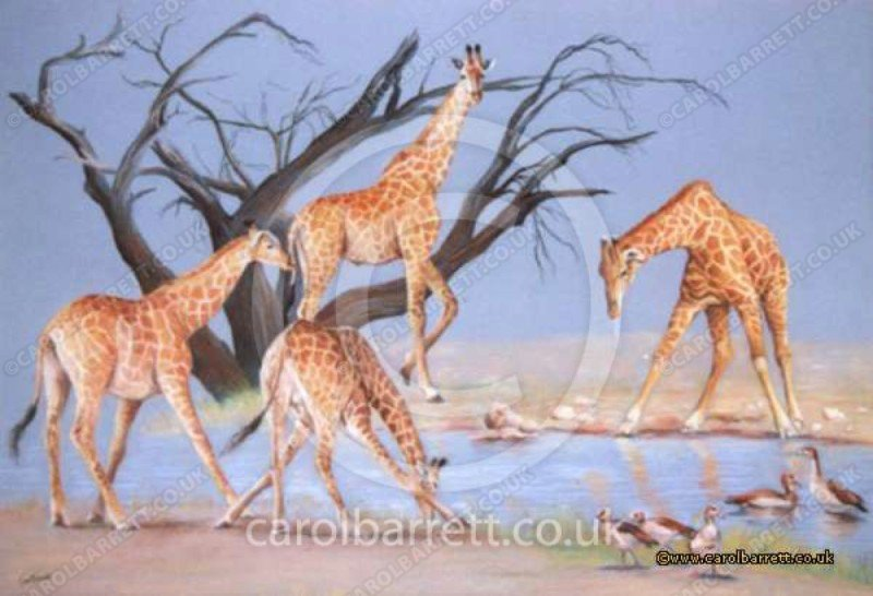 """<span style=""""float:left"""">The Long Drink (giraffe & Egyptian geese)</span><span style=""""float:right""""><a href=""""http://www.carolbarrett.co.uk/paintings/the-long-drink-giraffe-egyptian-geese/?from=/birds-sold/"""">More info »</a></span>"""