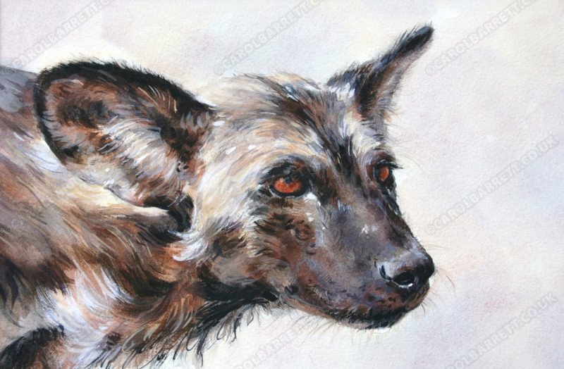 "<span style=""float:left"">Tribute to Newky</span> <span style=""float:right""><a href=""http://www.carolbarrett.co.uk/paintings/tribute-to-newky/?from=/wild-dog-hyena-for-sale/"">More info »</a></span>"