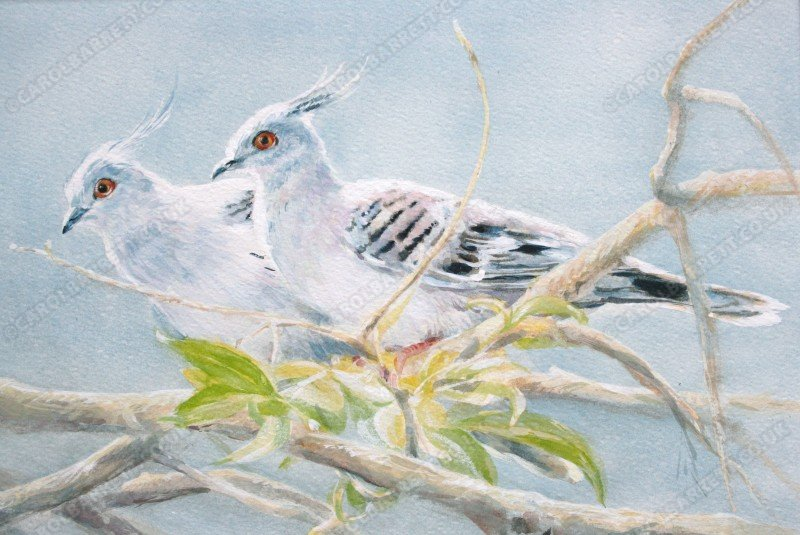 """<span style=""""float:left"""">Crested Pigeon</span><span style=""""float:right""""><a href=""""http://www.carolbarrett.co.uk/paintings/indigo-pair-crested-pigeon/?from=/birds-sold/"""">More info »</a></span>"""