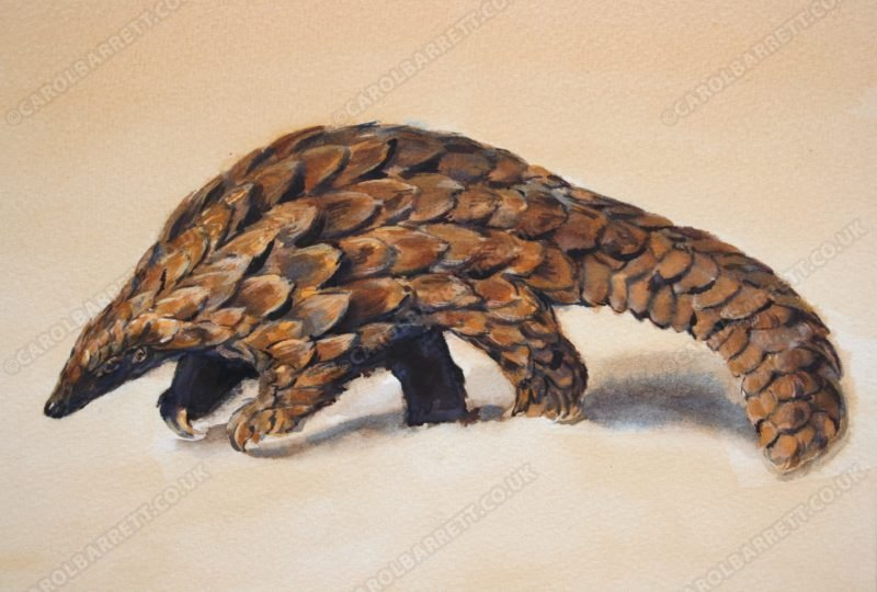 """<span style=""""float:left"""">Pangolin</span><span style=""""float:right""""><a href=""""http://www.carolbarrett.co.uk/paintings/pangolin/?from=/african-wildlife-sold/"""">More info »</a></span>"""