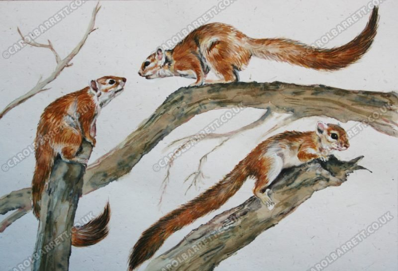"<span style=""float:left"">Rival Suitor ~ Tree Squirrel</span> <span style=""float:right""><a href=""http://www.carolbarrett.co.uk/paintings/rival-suitor-tree-squirrel/?from=/african-wildlife-for-sale/"">More info »</a></span>"