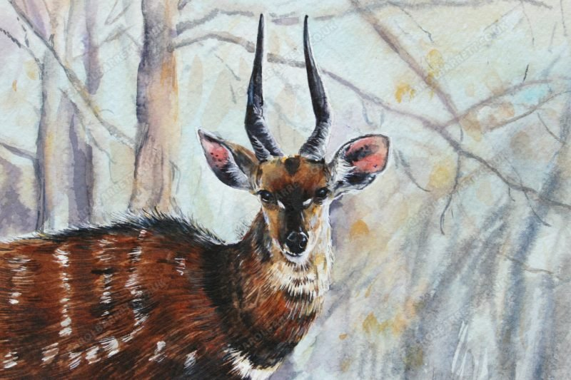 """<span style=""""float:left"""">Chobe Bushbuck</span><span style=""""float:right""""><a href=""""https://www.carolbarrett.co.uk/paintings/chobe-bushbuck/?from=/african-wildlife-sold/"""">More info »</a></span>"""