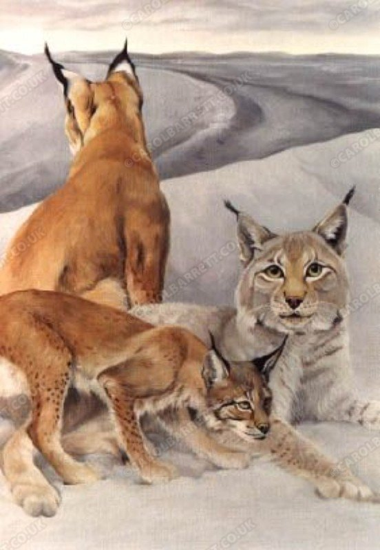 "<span style=""float:left"">Siberian lynx in snow</span> <span style=""float:right""><a href=""https://www.carolbarrett.co.uk/paintings/siberian-lynx-in-snow/?from=/big-cats-sold/page/2/"">More info »</a></span>"