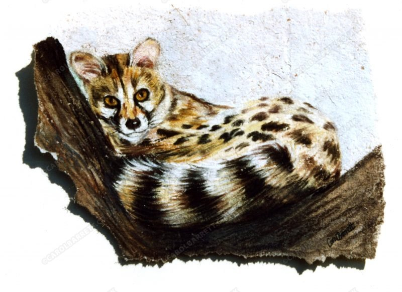 """<span style=""""float:left"""">Small spotted genet</span><span style=""""float:right""""><a href=""""https://www.carolbarrett.co.uk/paintings/small-spotted-genet/?from=/on-specialty-paper-sold/"""">More info »</a></span>"""