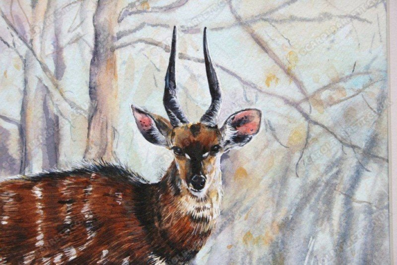 "<span style=""float:left"">Chobe Bushbuck</span> <span style=""float:right""><a href=""https://www.carolbarrett.co.uk/paintings/chobe-bushbuck/?from=/african-wildlife-sold/"">More info »</a></span>"