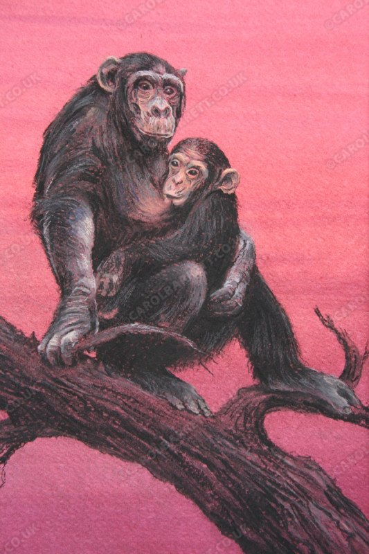 "<span style=""float:left"">Devoted Mother (chimpanzee with baby)</span> <span style=""float:right""><a href=""https://www.carolbarrett.co.uk/paintings/devoted-mother-chimpanzee-with-baby/?from=/primates-sold/"">More info »</a></span>"