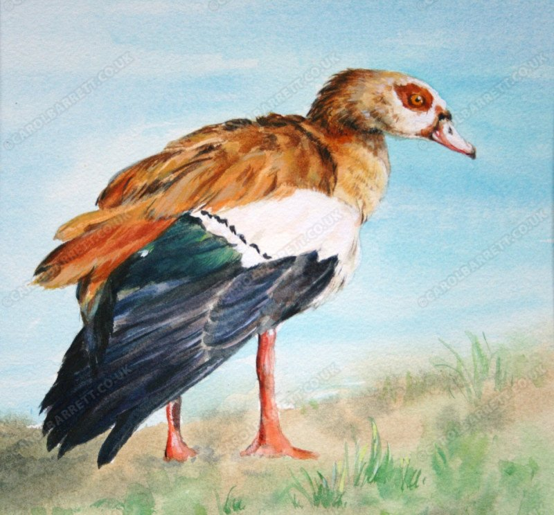 """<span style=""""float:left"""">Egyptian Goose</span><span style=""""float:right""""><a href=""""https://www.carolbarrett.co.uk/paintings/egyptian-goose/?from=/birds-for-sale/"""">More info »</a></span>"""