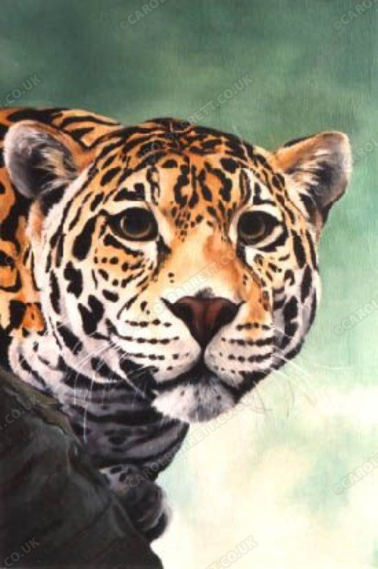 "<span style=""float:left"">Jaguar Head</span> <span style=""float:right""><a href=""https://www.carolbarrett.co.uk/paintings/jaguar-head/?from=/big-cats-sold/"">More info »</a></span>"