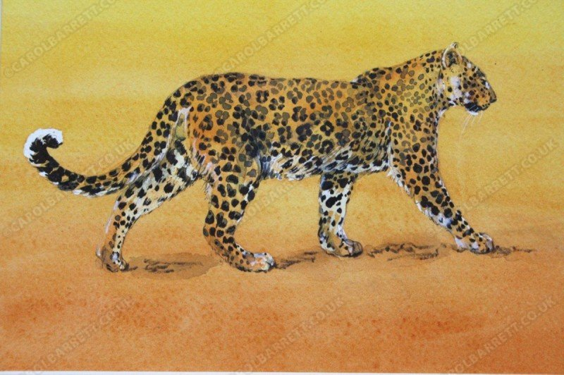 "<span style=""float:left"">Leopard patrol</span> <span style=""float:right""><a href=""https://www.carolbarrett.co.uk/paintings/leopard-patrol/?from=/big-cats-sold/"">More info »</a></span>"