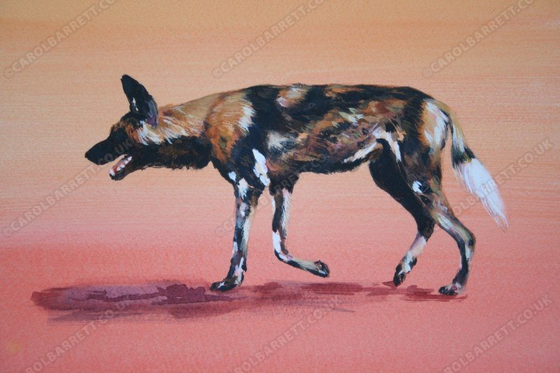 """<span style=""""float:left"""">Painted dog</span><span style=""""float:right""""><a href=""""https://www.carolbarrett.co.uk/paintings/painted-dog/?from=/wild-dog-and-hyena-sold/"""">More info »</a></span>"""