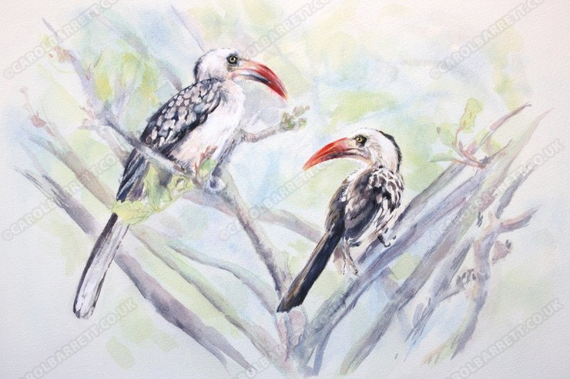 "<span style=""float:left"">Red-billed Hornbill</span> <span style=""float:right""><a href=""https://www.carolbarrett.co.uk/paintings/red-billed-hornbill-2/?from=/birds-for-sale/"">More info »</a></span>"