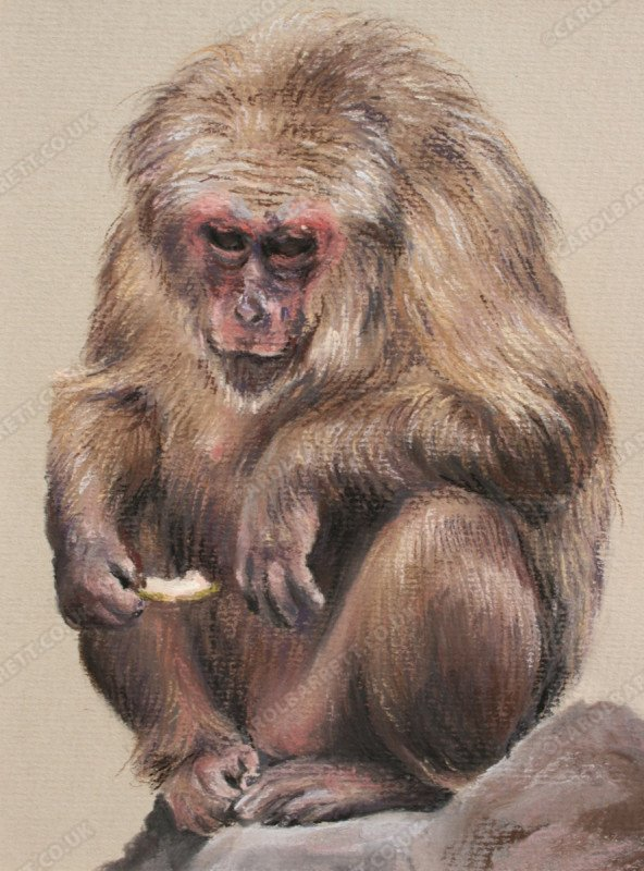 """<span style=""""float:left"""">Twilight Years (stump tailed macaque)</span><span style=""""float:right""""><a href=""""https://www.carolbarrett.co.uk/paintings/twilight-years-stump-tailed-macaque/?from=/primates-for-sale/"""">More info »</a></span>"""