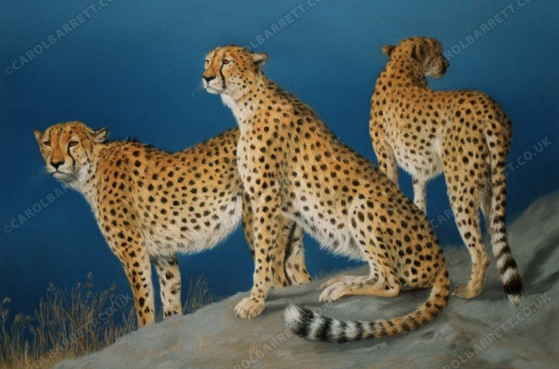 "<span style=""float:left"">United Brothers ~ Total sale proceeds will be donated to The Cheetah Conservation Fund (CCF)</span> <span style=""float:right""><a href=""https://www.carolbarrett.co.uk/paintings/united-brothers/?from=/cheetah-for-sale/"">More info »</a></span>"