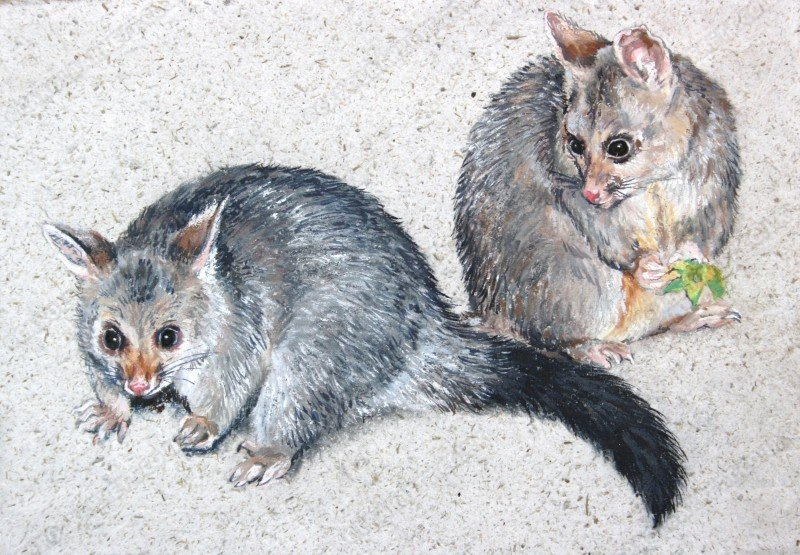 "<span style=""float:left"">Brushtail Possum</span> <span style=""float:right""><a href=""https://www.carolbarrett.co.uk/paintings/brushtail-possum/?from=/australian-wildlife-for-sale/"">More info »</a></span>"