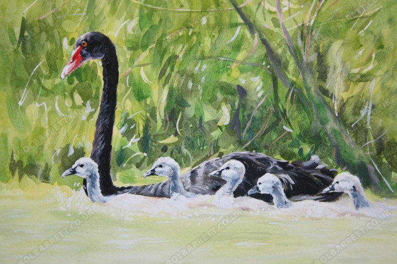 "<span style=""float:left"">Dedicated mother ~ Black Swan with cygnets</span> <span style=""float:right""><a href=""https://www.carolbarrett.co.uk/paintings/black-swan-with-cygnets/?from=/birds-for-sale/"">More info »</a></span>"