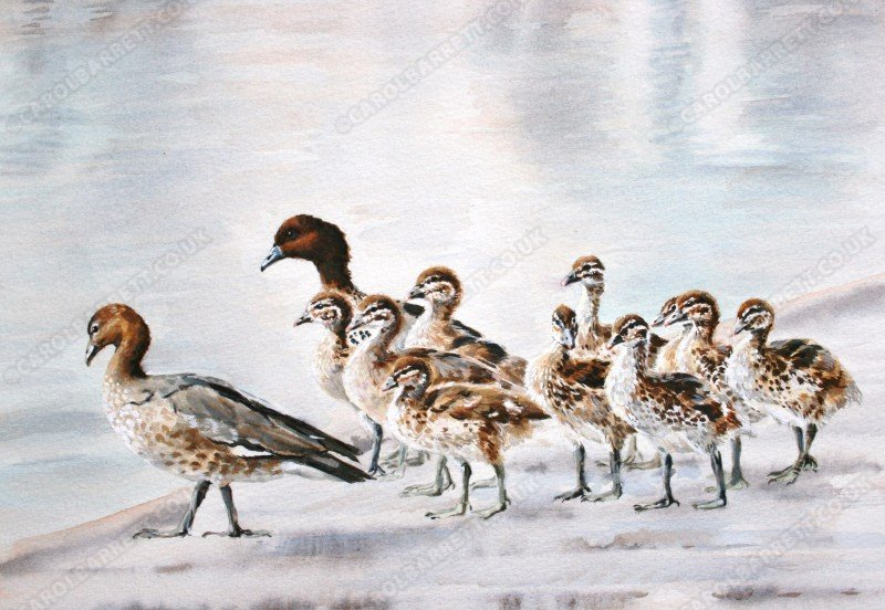 "<span style=""float:left"">Australian Wood Duck</span> <span style=""float:right""><a href=""https://www.carolbarrett.co.uk/paintings/australian-wood-duck/?from=/birds-for-sale/"">More info »</a></span>"