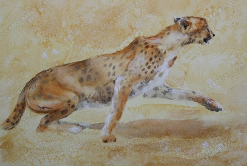 "<span style=""float:left"">Spirit of Speed ~ Total sale price will be donated to The Cheetah Conservation Fund (CCF)</span> <span style=""float:right""><a href=""https://www.carolbarrett.co.uk/paintings/spirit-of-speed/?from=/cheetah-for-sale/"">More info »</a></span>"