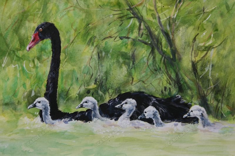 """<span style=""""float:left"""">Black Swan with cygnets</span><span style=""""float:right""""><a href=""""https://www.carolbarrett.co.uk/paintings/black-swan-with-cygnets-2/?from=/birds-for-sale/"""">More info »</a></span>"""