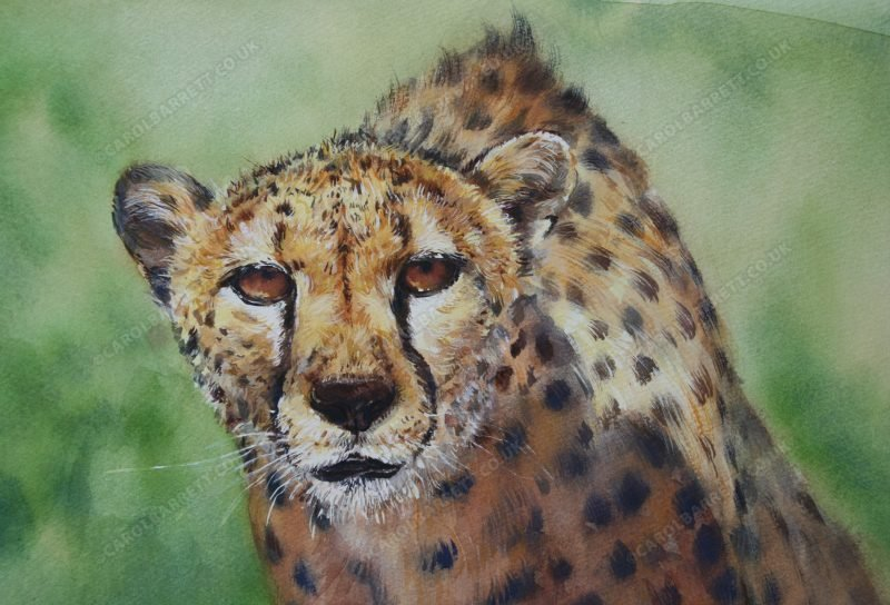 """<span style=""""float:left"""">Friend or Foe</span><span style=""""float:right""""><a href=""""https://www.carolbarrett.co.uk/paintings/friend-or-foe-total-sale-price-will-be-donated-to-the-cheetah-conservation-fund/?from=/cheetah-for-sale/"""">More info »</a></span>"""