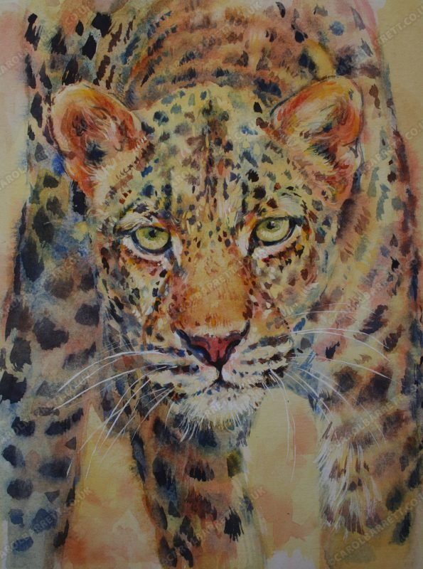 """<span style=""""float:left"""">Intensity</span><span style=""""float:right""""><a href=""""https://www.carolbarrett.co.uk/paintings/intensity/?from=/big-cats-for-sale/"""">More info »</a></span>"""